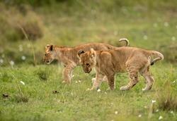 Lion cubs playing on green carpet of grass, Masai Mara