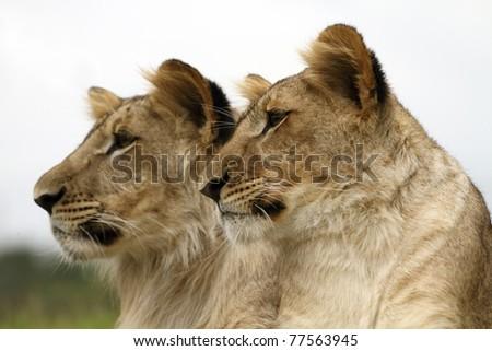 Lion Cubs portrait