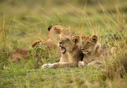 Lion cubs resting on the grasses of  Masai Mara, Kenya