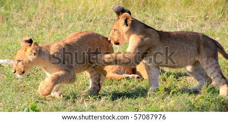 Lion cubs running and wrestling  Botswana, Africa