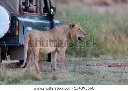 Lion directly to the safari car early in the morning in Masai Mara, Kenya