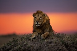 Lion Earless, son of lion Notch, on a termite hill at sunset in Masai Mara, Kenya