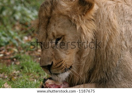 Lion Eating Meat Close Up - stock photo