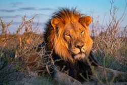 Lion enjoying the beautiful african sunset