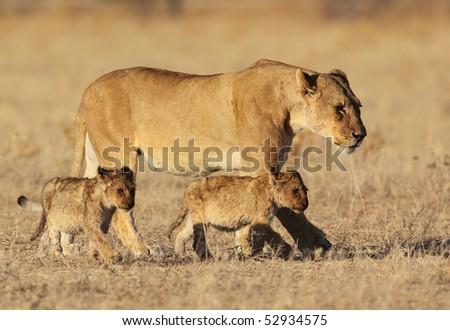 Lion family in golden sunrise light, Africa