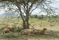 Lion family in the shade of a tree in the hot afternoon at Serengeti National Park, Tanzania, Africa.