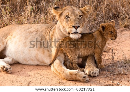 Lion family with cubs resting in the grass