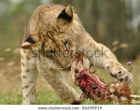 Lion feeding himself by his prey. Lion has shred animal in mouth.