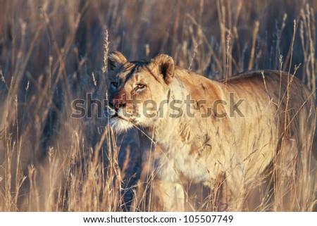 Lion female (panthera leo) South Africa