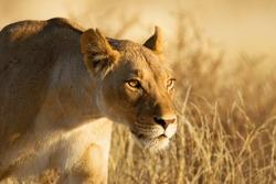 Lion; female; panthera leo; South Africa; Kalahari desert