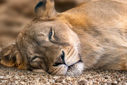 Lion female, sleepy lionesses head close-up, laying on small pebble stones with sunny blurred background. Wild animals, big cat