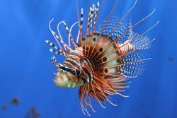 lion fish beautiful