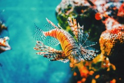 Lion fish hunting among coral reefs.