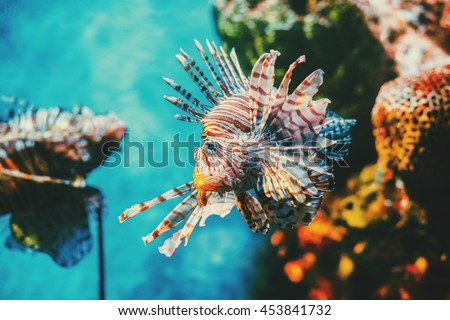 Shutterstock Lion fish hunting among coral reefs. Colorful tropical sea life. Underwater photography.  Travel inspiration. Sea ocean wildlife wallpaper.