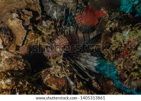 Lion fish in the Red Sea colorful fish, Eilat Israel #1405313861