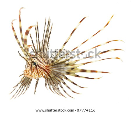 lion fish isolated on white background
