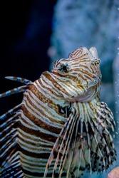 Lion fish (Pterois lunulata) in big aquarium.
