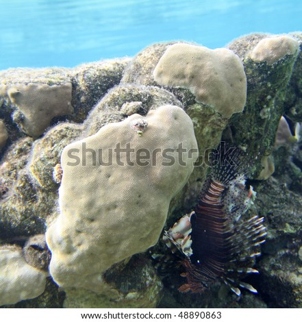 stock-photo-lion-fish-with-coral-reef-in-red-sea-48890863.jpg