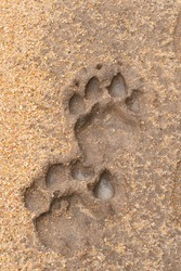 Lion footprints seen embedded in mud on a safari in South Africa