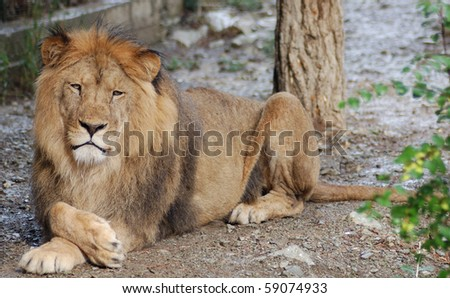 Lion having a rest in a zoo