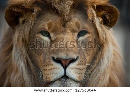 Lion head close up portrait