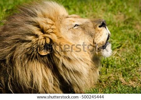 Lion head closeup Kruger national Park, Kruger national Park, South Africa safari animals, savannah, wildlife photography