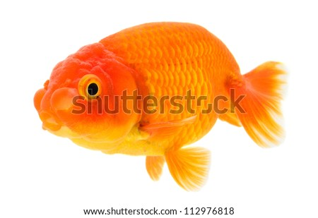 Lion head goldfish.