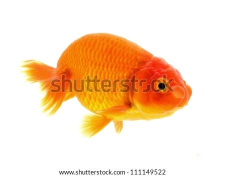 Lion head goldfish Isolation on the white