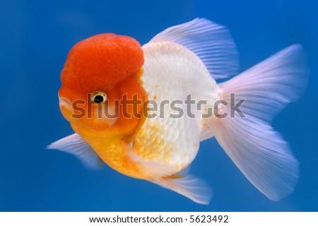 Lion Head oranda goldfish