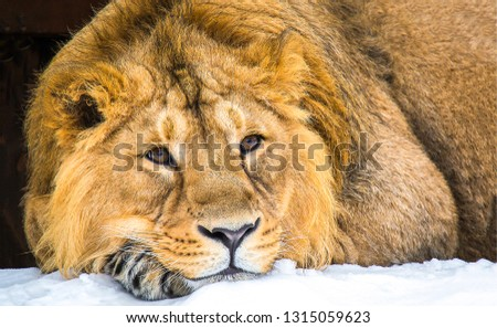 Lion head portrait. Lion eyes. Lion portrait. Lion head #1315059623