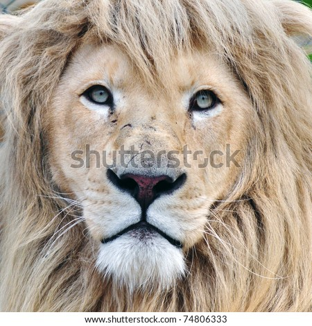 Lion head. This animal is considered to be the king of animals and white albino lion is endangered species.