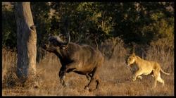 Lion hunt Kruger National Park