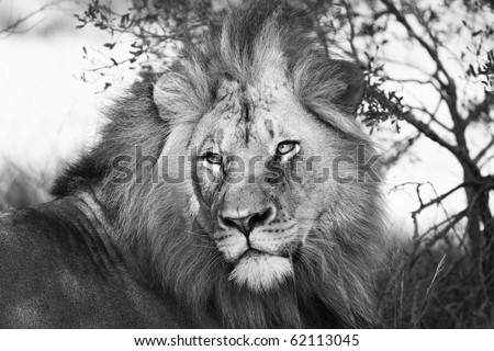 Lion in black and white