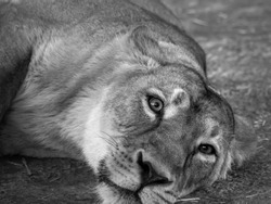 Lion in black and white. Eyes of a lion, asiatic lion (panthera leo persica).