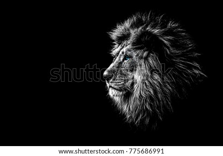 lion in black and white with blue eyes #775686991
