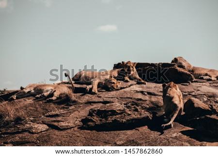 Lion in Kenya masai safari