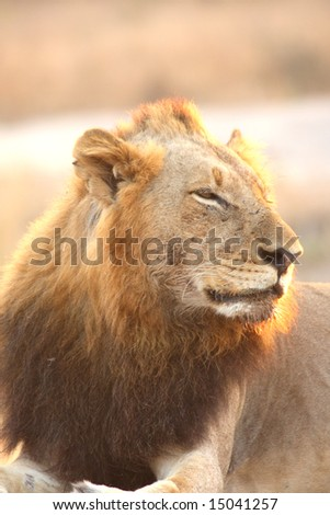 Lion in Sabi Sands Reserve, South Africa