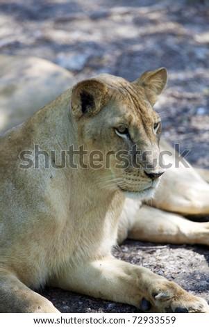 Lion in Safari Park, Bangkok,Thailand