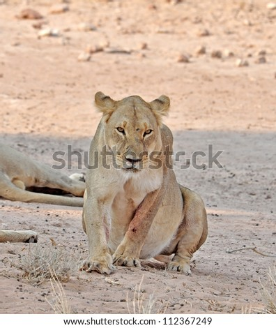Lion in the Kgalagadi Transfrontier Park, Kalahari Desert, South Africa.