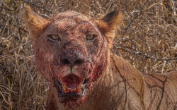 Lion in the Kruger park eating on a cape buffalo kill