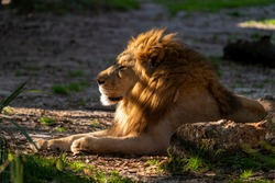 lion in the wild sunlight