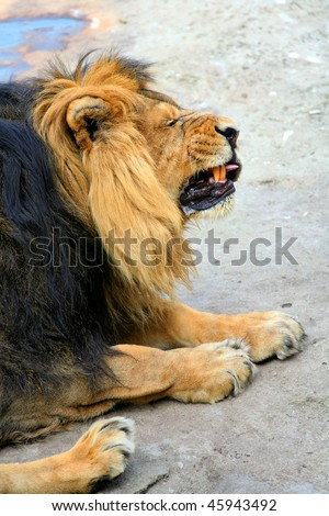 Lion in the zoo contorts his face and squinting