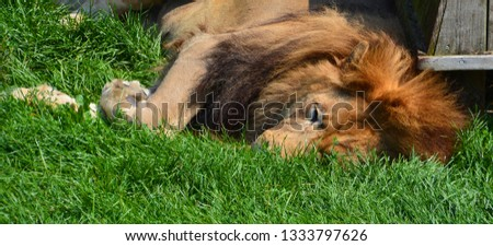 Lion is one of the four big cats in the genus Panthera, and a member of the family Felidae. With some males exceeding 250 kg (550 lb) in weight, it is the second-largest living cat after the tiger #1333797626