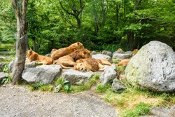 Lion King is sleeping in the wildlife park with other lions.