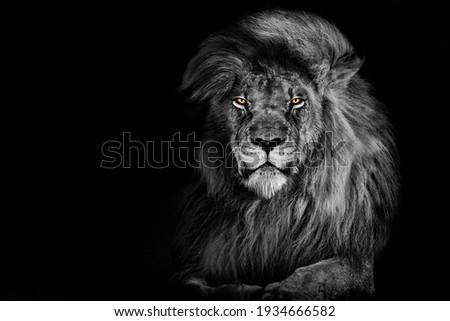 Lion king isolated on black , Portrait Wildlife animal