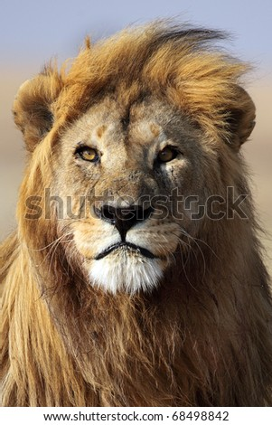 Lion king of the African savannah, Serengeti, Tanzania