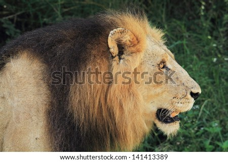lion king of the jungle carnivorous mammal predator African savannas kruger national park south africa
