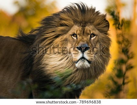 Lion King Portrait #789696838