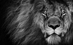 Lion king , Portrait Wildlife animal