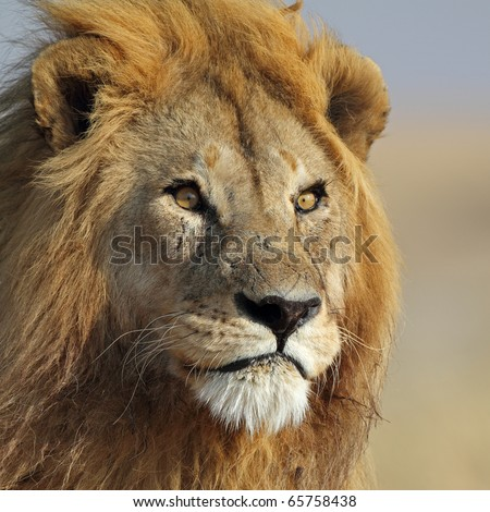 Lion king with golden mane, Serengeti, Tanzania, East Africa